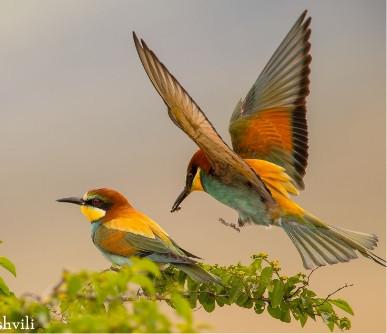 Eurpoean Bee-eater
